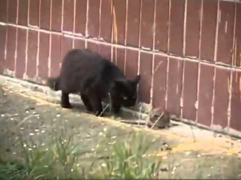 Rata Ataca a Gatos en Rusia