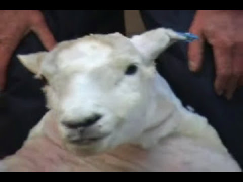 Walter Peak Sheep Shearing