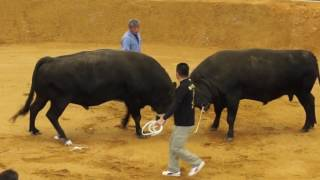 Bull Fight Okinawa Japan