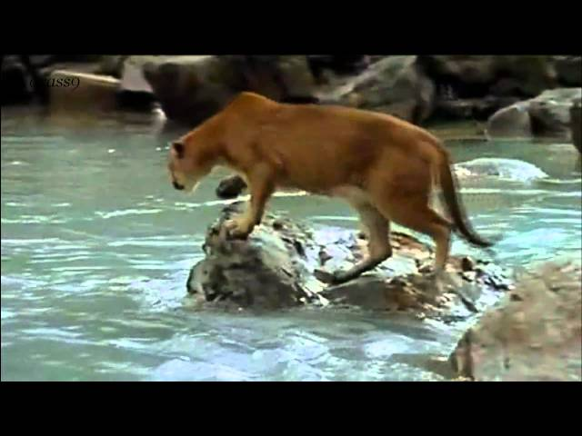||| Emotional Music Brave Touch - Brave Bear Cub Against Cougar |||