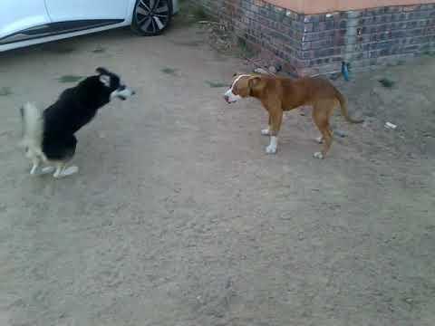 Pitbull fight husky but loose