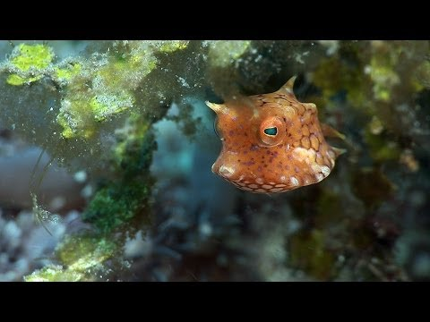 """Boxfishes, puffers and porcupinefishes. Part 12 of my documentary, """"Mucky Secrets"""", about the fascinating marine creatures of the Lembeh Strait in Indonesia. Watch the full 90-minute documentary at http://www.youtube.com/watch?v=nJMZ6reOB0E  In this video I look at fishes in the order Tetraodontiformes. First of all we encounter a very young boxfish, possibly a longhorn cowfish, Lactoria cornuta. Along with toxic skin, the boxfish's main defence is a very hard carapace of bony plates. The juvenile's coloration helps it remain unnoticed while the body hardens.  Next is a juvenile thornback cowfish, Lactoria fornasini, sheltering in Halimeda algae. Juvenile boxfishes and pufferfishes often tuck their tail to one side when it is not needed for swimming.  Next we meet a juvenile starry puffer, Arothron stellatus, and its dramatically different adult counterpart.  Although puffers are slow movers, the tail can give them a great turn of speed when threatened. As a further defence, puffers can inflate their bodies with water, vastly increasing their size and revealing short, sharp spines on their skin.  They are believed to be the second most poisonous vertebrate on earth, after the golden poison frog. However some predators can tolerate the toxin, and some parts of them are carefully prepared as a delicacy in Japan, Korea and China.  The juvenile guineafowl puffer, Arothron meleagris, has a black and yellow coloration that advertises its toxicity to potential predators. This is a common combination of warning colors in the animal kingdom.  More elongate puffers are found in the Lembeh Strait too. We encounter a narrow-lined puffer, Arothron manilensis, at Hairball and a shortfin puffer, Torquigener brevipinnis, at TK.  Sharpnose puffers, also known as tobies, have elongated snouts and slimmer bodies. We meet at a Valentini puffer, Canthigaster valentini, a Bennett's sharpnose puffer, Canthigaster bennetti, and a compressed toby, Canthigaster compressa.  The birdbeak burrf"""