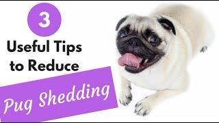 How to Reduce Pug Shedding
