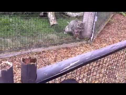 Snow leopard surprise attacks a squirrel