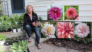 Planting dinnerplate dahlias + About me | The Impatient Gardener