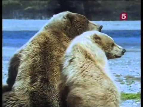BBC Мир природы Большие медведи Аляски   The natural world Great bears of Alaska