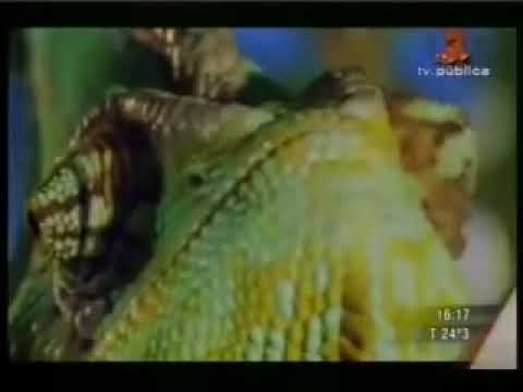 Brutal pelea entre camaleon y mantis religiosa
