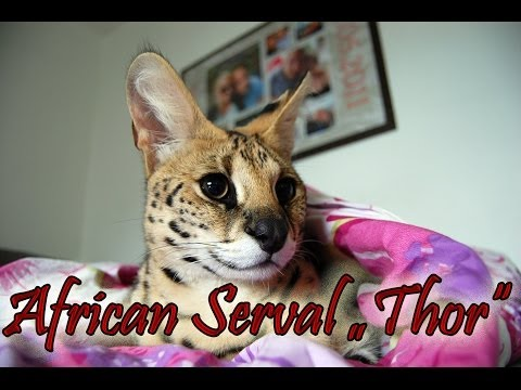 Savannah Cat TV - African Serval