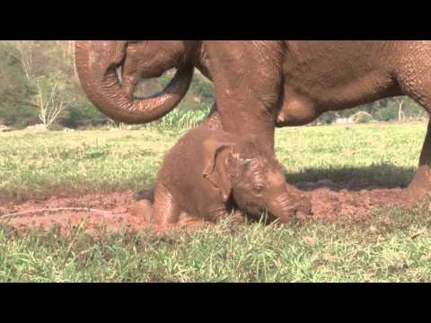 baby elephant Dok-Mai has her first mud bath