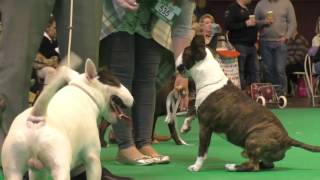 Crufts Dog show 2017 Miniature Bull Terriers Open Dog