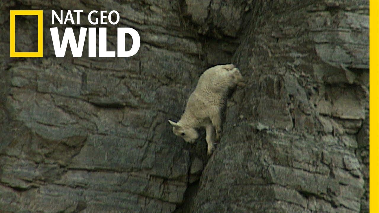 Ibex Rock Climbing Rock-climbing Goats