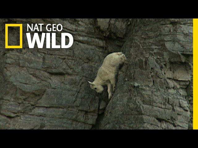 Ibex Rock Climbing Rock-climbing Goats Youtube