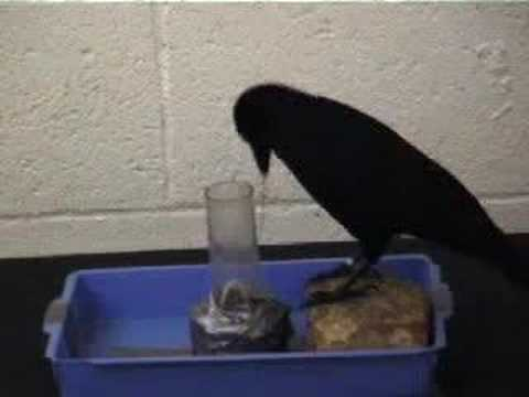Tool-Making Crows