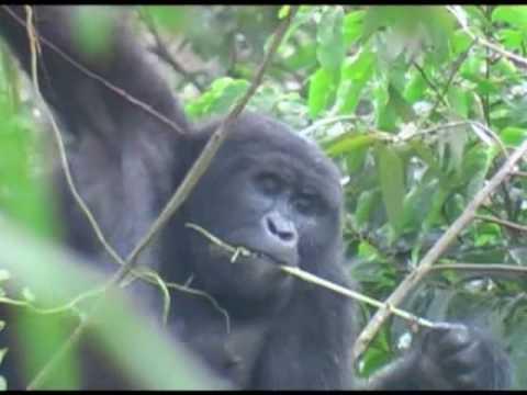 Gorilla's of Bwindi
