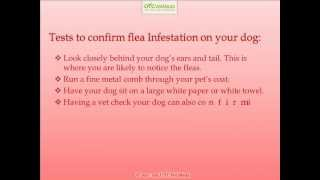 Symptoms of fleas on dogs