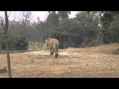 Live chicken fed to tigers at Yangcheng Safari Park, Changzhou, China