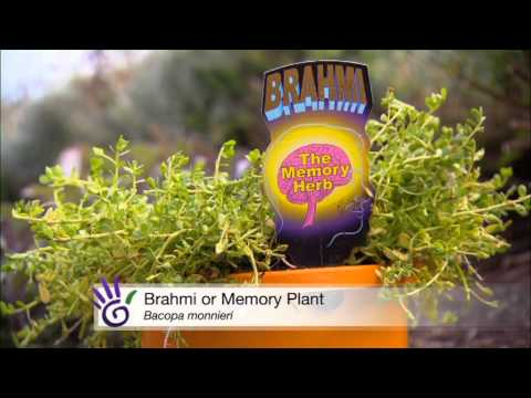 Improve your memory with natural herbal tea recipe