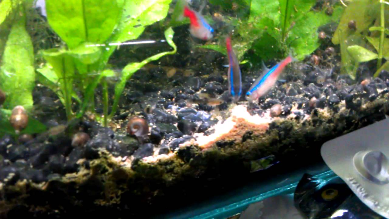 Neon Tetras And Guppies Guppy Fry And Neon Tetra go