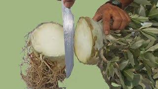 Radial Roots Through Surgical Operation on Thai Soco Adenium