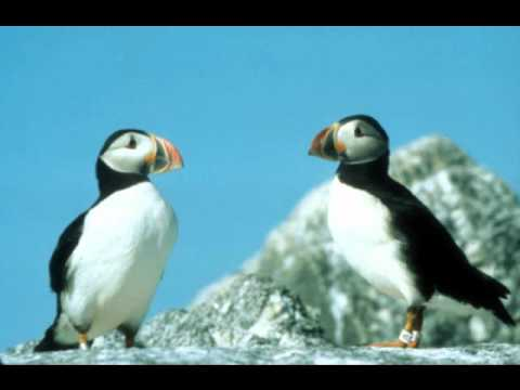 Port Obrien - A Puffin