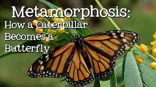 Metamorphosis: Caterpillar to Butterfly for Children - FreeSchool