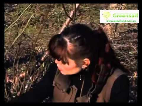 Обрезка роз видео