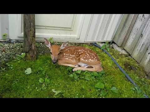 Backyard Fawn Rescue