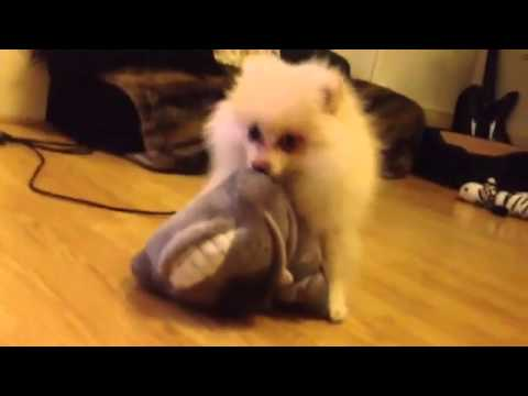 Funny Pomeranian Female (kaya-3months) Doggystyle Boo Sex Puppy Dog video