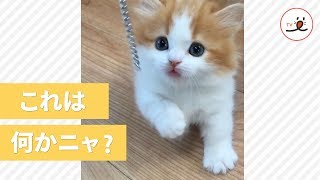 マンチカンの子猫ちゃんの可愛すぎる猫パンチ😍【 PECOTV 】