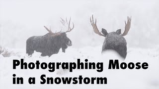 Bull Moose in a Snowstorm | Wildlife Photography with Steve Mattheis