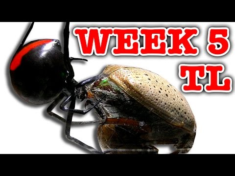 Deadly Spider Vs Christmas Beetle Bug Battle Week 5 Timelapse (Graphic Video)