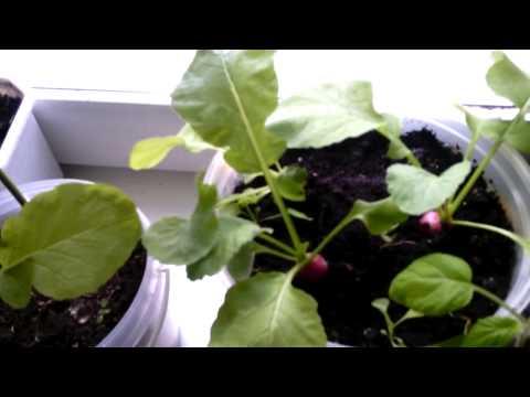 Выращивание кабачков на подоконнике зимой 94