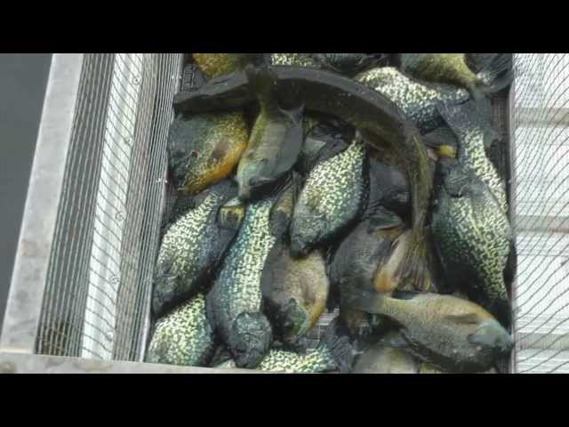 Best ever Crappie Fishing Video on spawning black and white crappie  by WillCFish Tips and Tricks.