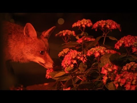 Urban fox documentary / film - Pssst Fox by Richard Cobelli