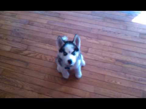 Baby husky Papi talks