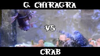 Smasher Mantis Shrimp - Gonodactylus Chiragra VS Crab