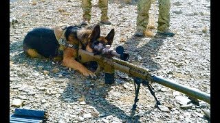Extreme Trained & Disciplined German Shepherd Dogs
