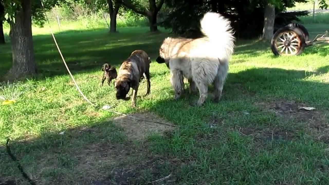 Viewing gallery for russian mastiff bear caucasian ovcharka