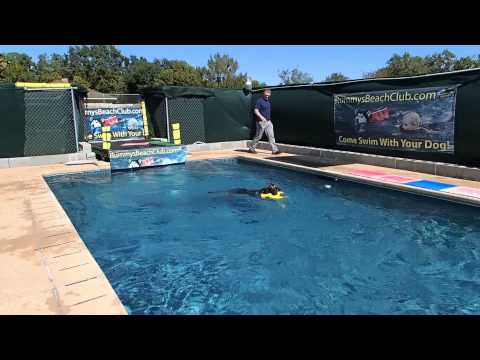 German Shepherd Bryson jumps off of the dock into the swimming pool - good summer times!