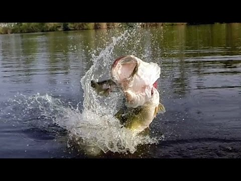 Big Bass Eats a Bluegill. Bass Fishing with the Ultimate Bluegill.