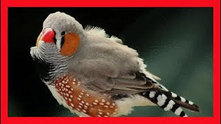 Zebra Finch Song - Download CD - Excellent - Download CD Taeniopygia Guttata