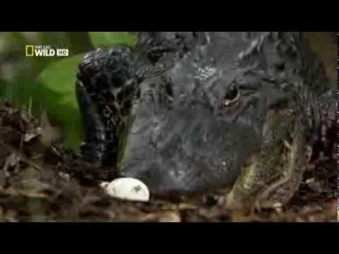 Тайная жизнь хищников. миссисипский крокодил