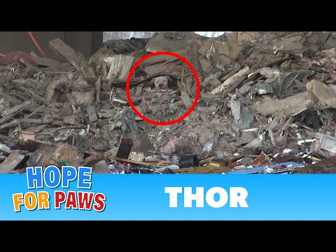 A scared homeless pit bull is found hiding deep in a trash heap. Please share his rescue video.