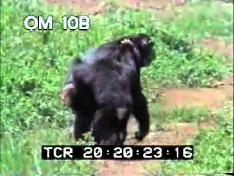 Chimps Fighting - Chimpanzee's In Wild - Monkey - Best Shot Footage - Stock Footage