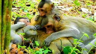 OMG! These Little Baby Monkeys Taking Full Time To Play and The Grandfather Sleeping