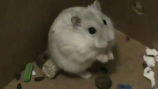Snowflake - our new winter white hamster  Snowflake