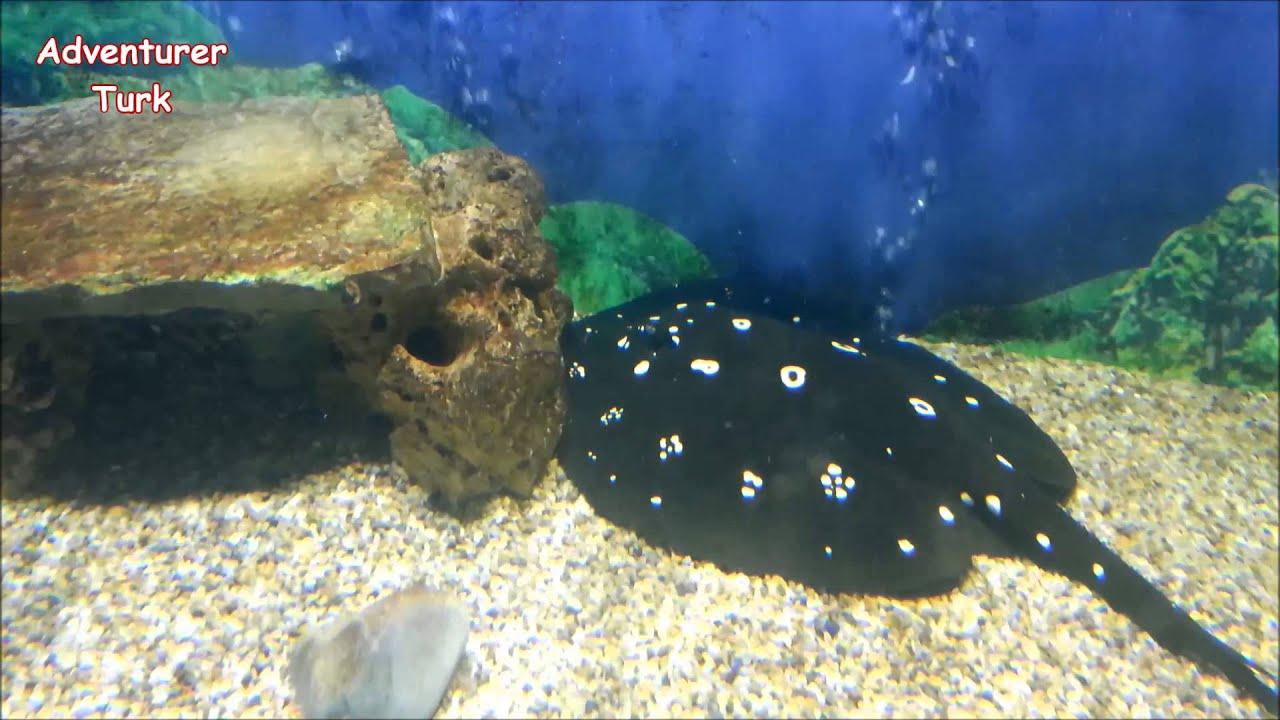 Freshwater stingray aquarium fish youtube for Stingray fish tank