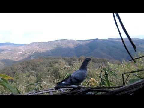 Rientro dei piccioni nelle gabbie.MOV