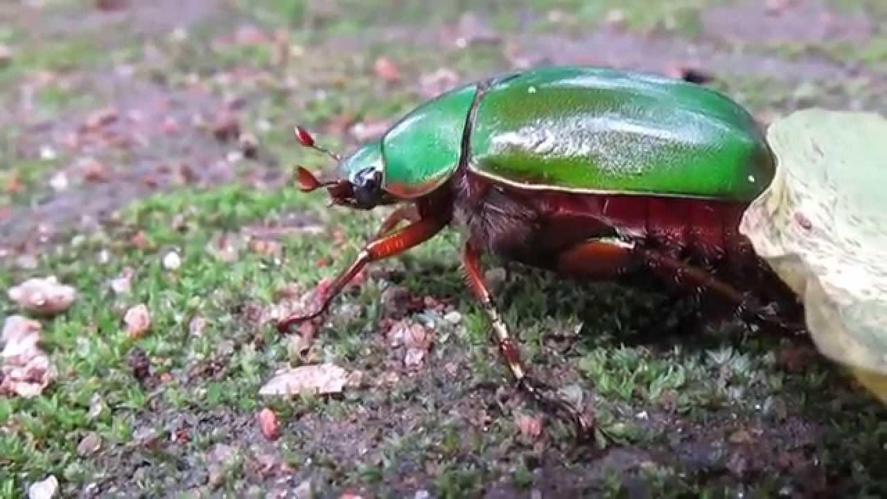June beetle bite
