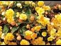 Hoa Thu Hải Đường Vàng